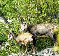 Дива коза(Rupicapra rupicapra balcanica).На територията на Рибарската област броят на дивите кози е приблизително 420.