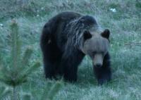 Кафява мечка(Ursus arctos).Най-едрият бозайник срещан на територията на България.